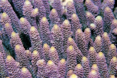 Not appressed, touching, same size. Millepora