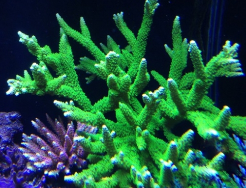 Bali Green Slimer, the universal acropora