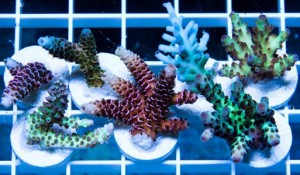 acropora frags